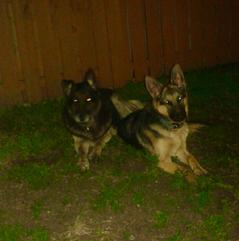 nino von tronje german shepherd puppies