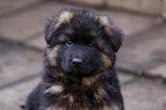 remo vom fichtenschlag german shepherd puppies for sale