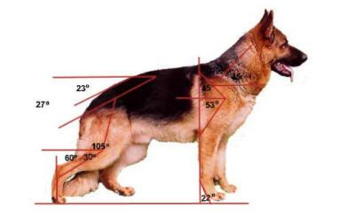 german shepherd general info and angles